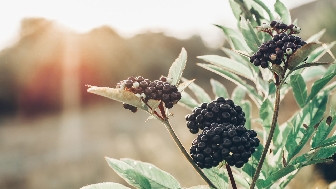 Elderberry flu