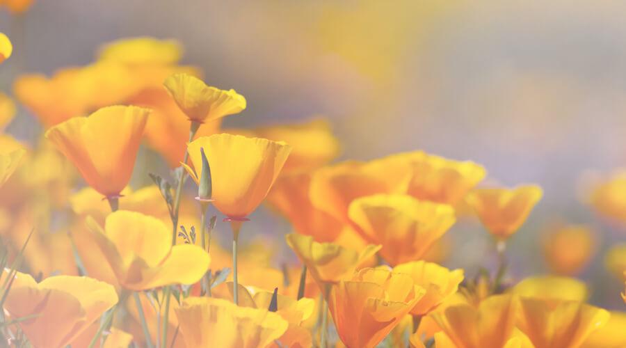 sleep california poppy